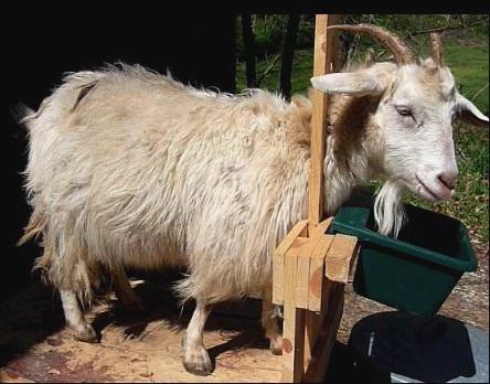 goat-combing
