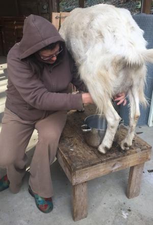 Beth milking Jessa